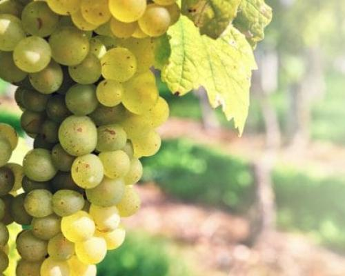 White grapes of Côtes de Provence  wines